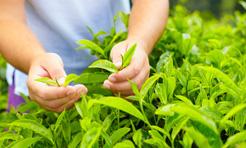 The verde e betulla, drenanti per natura